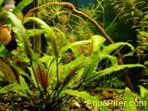 Криптокорина желтая (Cryptocoryne lutea)