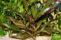 Криптокорина Вендта коричневая(Cryptocoryne wendtii 'Brown')