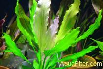 Эхинодорус триколор (Echinodorus 'Tricolor')