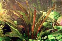 """Эхинодорус рубиновый узколистный (Echinodorus """"Rubin"""" narrow leaves)"""