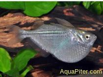 Гастеропелекус стерникла (Gasteropelecus sternicla)