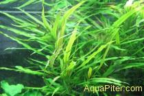 Гигрофила Пантанал (Hygrophila sp. Pantanal Wavy)