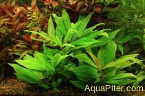 """Гигрофила карликовая """"Компакта"""" Hygrophila compacta"""
