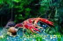 Рак флоридский (красный) болотный Procambarus Clarkii