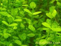 Линдерния круглолистная Lindernia rotundifolia