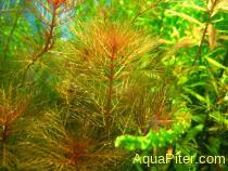 Myriophyllum tuberculatum 'RED'