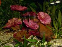 Нимфея тигровый лотос красная (Nymphaea tiger lotus red)