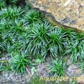 "Офиопогон японский ""Киото"" (Ophiopogon japonicus kyoto dwarf)"