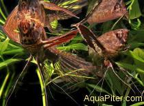 Пантодон - Рыба-бабочка (Pantodon buchholzi)
