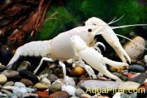 Рак флоридский белый Procambarus Clarkii var. white