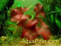 Нимфея Рубра (Nymphaea Rubra)