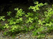 Лютик водный (Ranunculus papulentus)