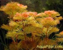 Кабомба красная (Cabomba furcata)
