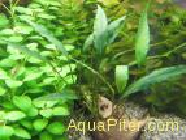 Шизматоглоттис розеоспата (Schismatoglottis roseospatha)