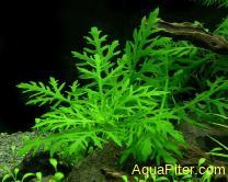 Синема узорчатая (Hygrophila difformis)
