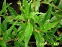 Hygrophila sp.staurogyne sharp
