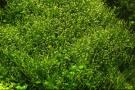 Риччия (Riccia fluitans)