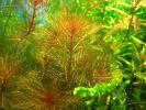 Перистолистник красный (Myriophyllum tuberculatum 'RED')