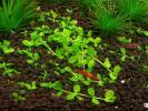 Микрантемум МонтеКарло (Micranthemum sp.MonteCarlo)