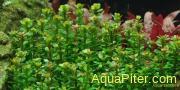 Аммания сп. Бонсай (Ammania sp. 'bonsai'), пучок