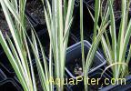 Акорус полосатый, набор для посадки с корзинкой