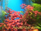 Людвигия Супер ред Мини, Ludwigia palustris super red