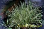 Акорус карликовый (Acorus gramineus)