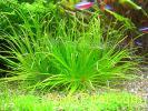 Бликса спиральная (Blyxa novoguineensis)