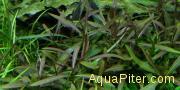 Гигрофила Арагуая (Hygrophila 'Araguaia')
