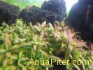 Стаурогин коричневый Staurogyne sp. brown