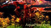 Апоногетон криспус Красный (Aponogeton crispus red)