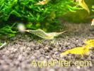 """Креветка красноносая Red Nose Shrimp (Caridina gracilirostris) """"Пиноккио"""""""