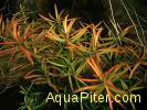 Людвигия дугообразная (Ludwigia arcuata)