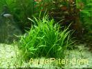 Лилеопсис новозеландский (Lilaeopsis novae-zealandiae)
