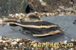 Сом платидорус (Platidorus costatus)