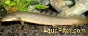 """Полиптерус сенегальский """"Рыба Дракон"""" (Polypterus senegalensis)"""