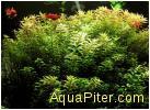 Ротала индийская (Rotala indica)