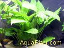 Анубиас Хетерофилла (Anubias heterophylla)