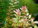 Rotala macrandra 'Green Narrow Leaf'