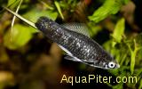 Меченосец чёрный (Xiphophorus helleri)