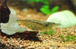 Креветка Амано Amano Shrimp