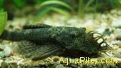 Анциструс обыкновенный (Ancistrus dolichopterus) самец