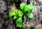 Анубиас бартери нана (Anubias barteri nana), меристема S