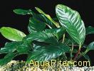 "Анубиас ""Волнистый лист"" (Anubias Wrinklend Leaf)"