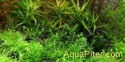 Гратиола Вискудула (Gratiola viscidula), меристемное