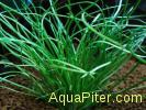 Литторелла Унифлора (Littorella uniflora), меристемное