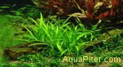 Сагиттария Субулата (Sagittaria subulata), меристемное