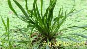 Эхинодорус Ангустифория (Echinodorus angustifolius)