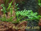 Болбитис карликовый (Bolbitis sp. Baby Leaf)
