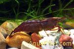 Креветка коричневая бабаулти Caridina Babaulti brown